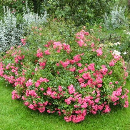 Бордюрные розы купить в украине заказ цветов в домодедово