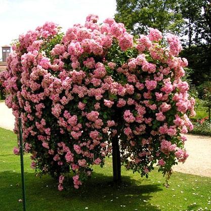 Купить плетистые розы саженцы заказать букет цветов в луганске